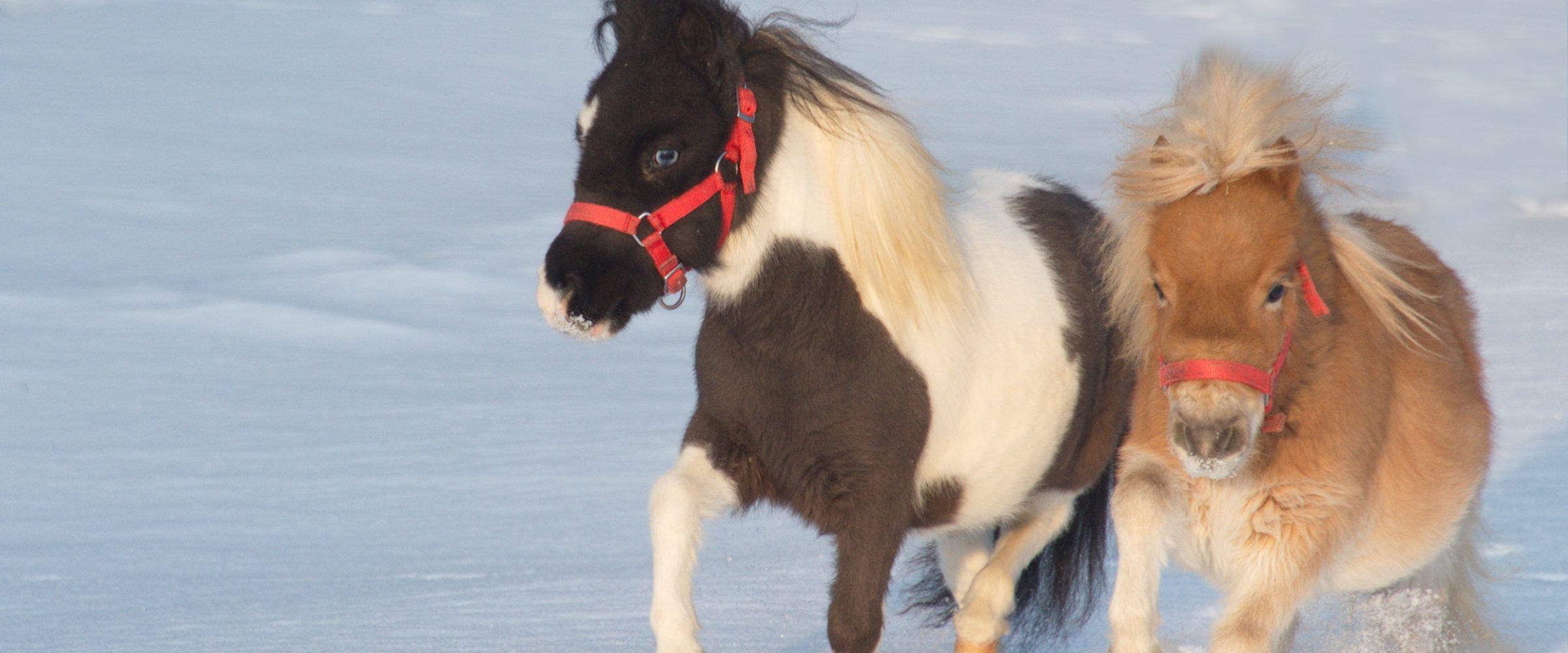 Mini-Pferde